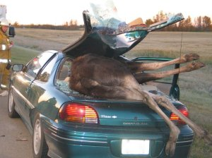 moose-car-accident-2