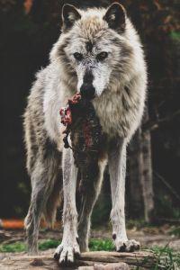 wolf- lupercalia
